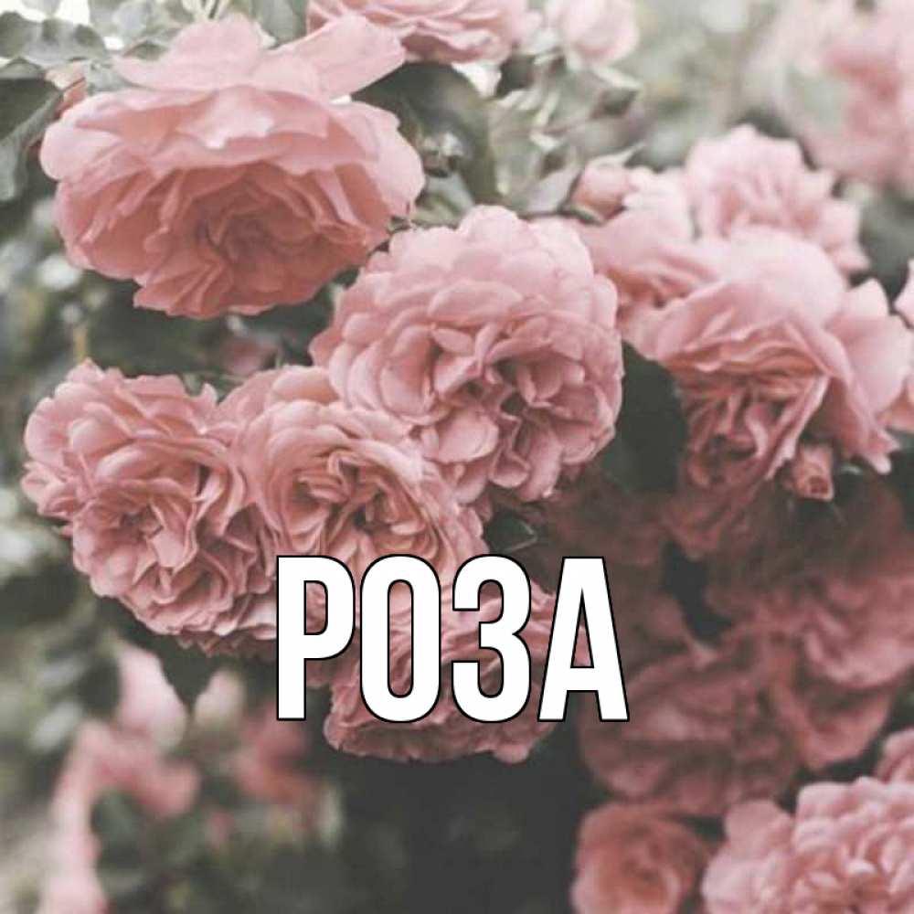 Картинки с именем роза
